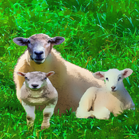 Sheep and Lambs Greeting Card