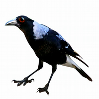 Magpie Birthday Card