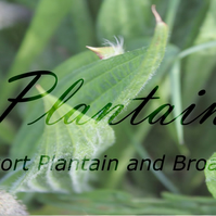 Plantain Plant Profile