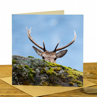 Red Deer Peekaboo - Wildlife Greeting Card - Blank Inside - Highland Stag Card