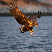 White Tailed Sea Eagle at Sunset - Wildlife Photography - FREE UK Delivery