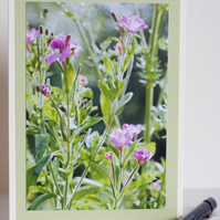 Photographic blank greetings card - Great willowherb