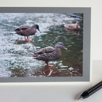 Photographic blank greetings card - Female mallard duck on icy pond
