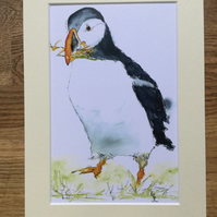 A4 mounted print of Polperro Puffin from my original watercolour