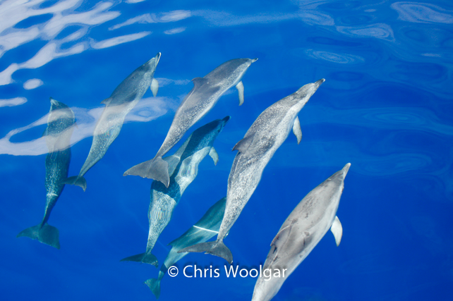 Common Dolphins Swimming Underwater 6 x 4 or A4 Fine Art Photographic Print