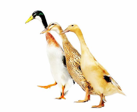 Indian Runner Ducks, Greeting, Birthday Card