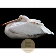 The Pink Pelican, Colour Print, Fine Art Wall Print