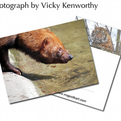 Bush Dog ACEO Print Photography by VK