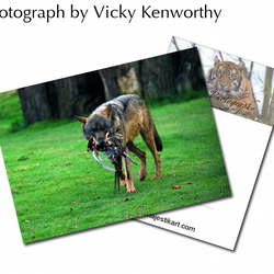 Wolf ACEO Print Photography by VK