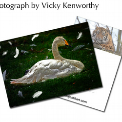 Swan ACEO Print Photography by VK