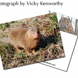 Mink ACEO Print Photography by VK