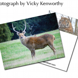 Axis Deer ACEO Print Photography by VK