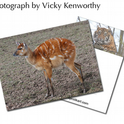 Eastern Bongo ACEO Print Photography by VK