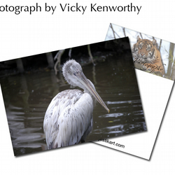 Pelican ACEO Print Photography by VK