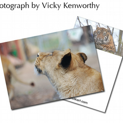 Lioness ACEO Print Photography by VK