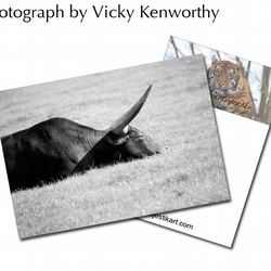 Ankole Cattle ACEO Print Photography by VK