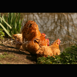 Free Range - A5 photo greetings card - Chickens, Hens