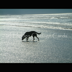 Shimmer - A5 photo greetings card - Labrador on beach, sea