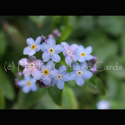 Forget-Me-Not - A5 photo greetings card