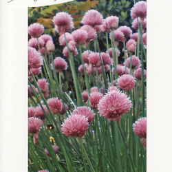 SALE - Chive Flowers Image - Happy Birthday Card - Photo Print