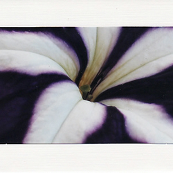 SALE - Petunia Image - Greetings Card Or Notelet  -  Floral Photo Print