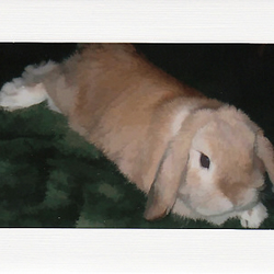 SALE - Dwarf Lop Eared Rabbit Image 1  - Greetings Card - Animal Photo Print