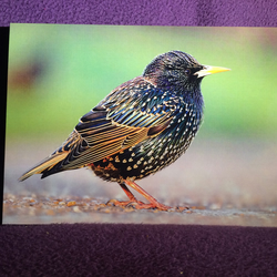 A5 Starling Greetings Card.