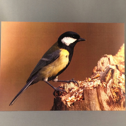 Great tit greetings card. Gt2