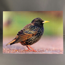 Starling greetings card, st5