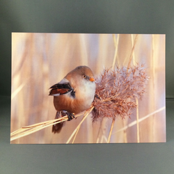 Bearded tit greetings card. Bt2