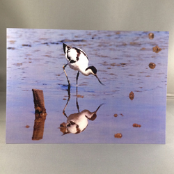 Avocet greetings card.