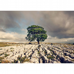 Malham Ash Tree in the Yorkshire Dales, North Yorkshire fine art photography