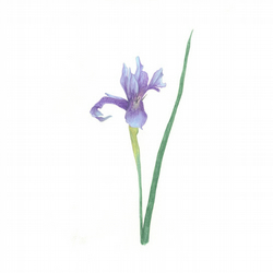 Blue Iris flower botanical art giclee print