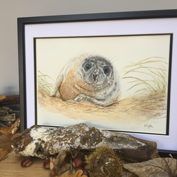 Grey seal in the sand dunes
